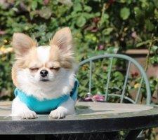Породы собак с описанием и фото. - Страница 2 1480442708_chihuahua-photo-7