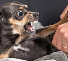 Породы собак с описанием и фото. - Страница 2 1480442720_chihuahua-photo-4