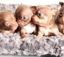 Породы собак с описанием и фото. - Страница 2 1480442731_chihuahua-photo-5