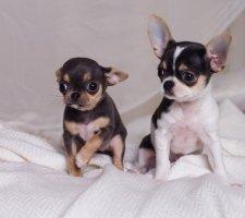 Породы собак с описанием и фото. - Страница 2 1480442734_chihuahua-photo-3