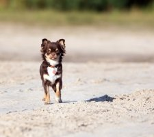 Породы собак с описанием и фото. - Страница 2 1480442762_chihuahua-photo-9