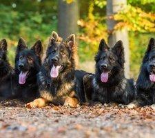Породы собак с описанием и фото. - Страница 2 1480454347_german-shepherd-dog-photo-3