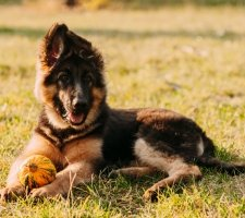 Породы собак с описанием и фото. - Страница 2 1480454347_german-shepherd-dog-photo-6
