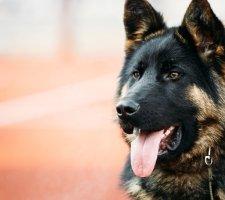 Породы собак с описанием и фото. - Страница 2 1480454348_german-shepherd-dog-photo-9