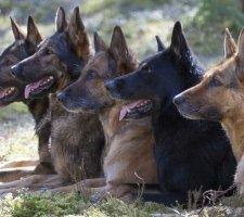 Породы собак с описанием и фото. - Страница 2 1480454354_german-shepherd-dog-photo-7