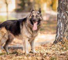 Породы собак с описанием и фото. - Страница 2 1480454361_german-shepherd-dog-photo-5