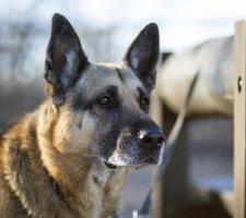 Породы собак с описанием и фото. - Страница 2 1480454407_german-shepherd-dog-photo-1