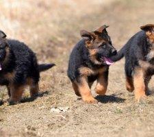 Породы собак с описанием и фото. - Страница 2 1480454420_german-shepherd-dog-photo-2