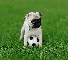 Породы собак с описанием и фото. - Страница 2 1480462179_pug-photo-4