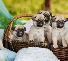 Породы собак с описанием и фото. - Страница 2 1480462197_pug-photo-9