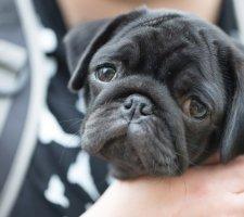Породы собак с описанием и фото. - Страница 2 1480462216_pug-photo-5