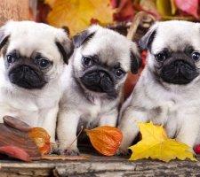 Породы собак с описанием и фото. - Страница 2 1480462230_pug-photo-6