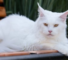Белый взрослый мейн кун сидит на скамейке