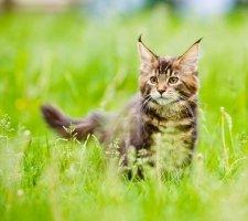 Котенок мейн кун играет в траве
