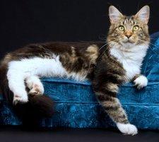 Красивая кошка мейн кун лежит на диване