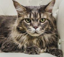 Пронзительный взгляд кота породы мейн кун