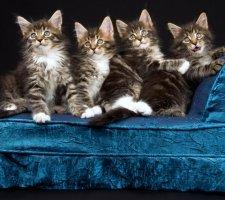 Четыре котята мейн кун лежат на диване