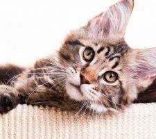 Красивый котенок мейн кун