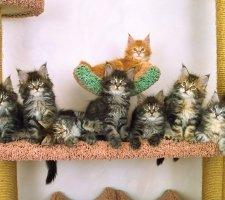 Десять котят породы мейн-кун смотрят в одном направлении