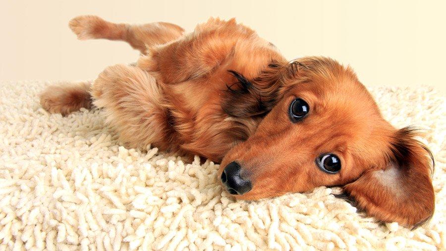 Породы собак с описанием и фото. - Страница 2 1480596675_dachshund