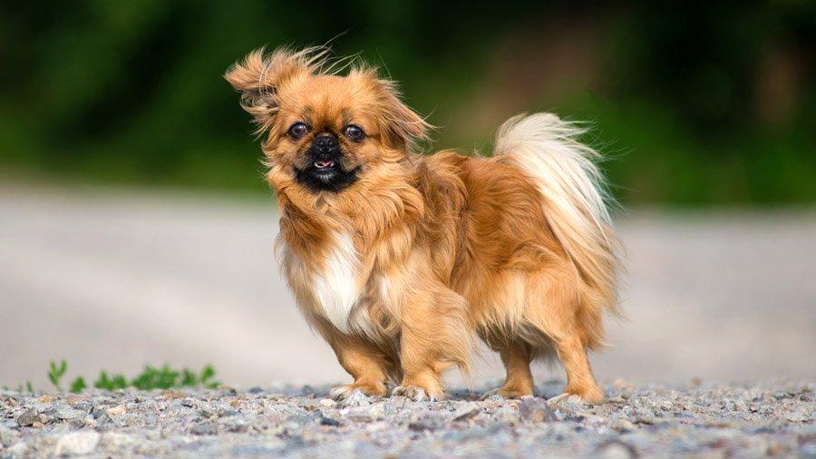 Породы собак с описанием и фото. - Страница 2 1480601020_pekingese