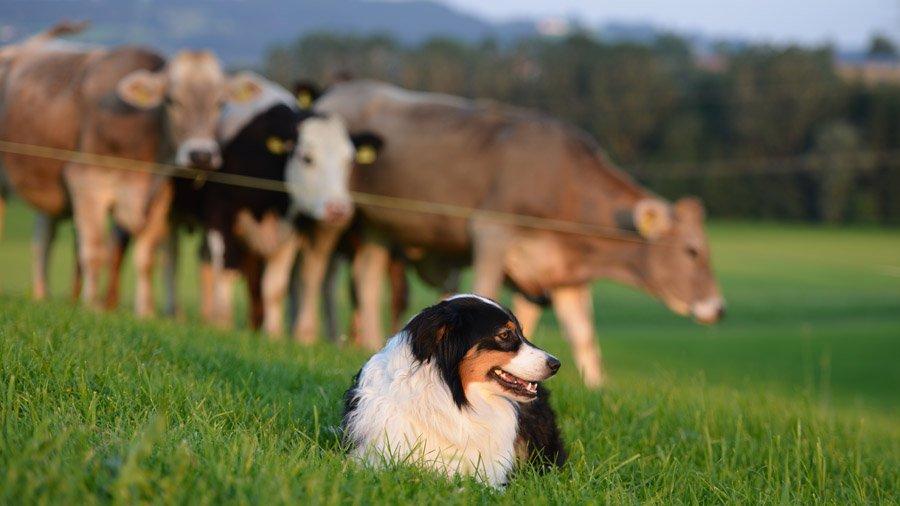 Породы собак для детей и семьи 1480606985_australian-shepherd