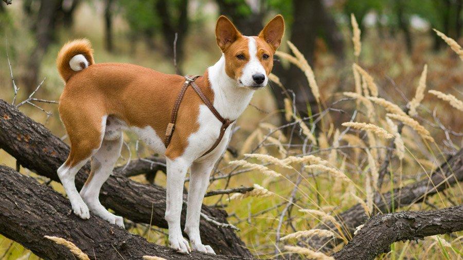 Самые умные породы собак 1480610819_basenji-dog