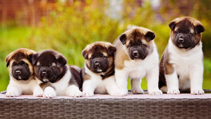 породы собак.акита фото