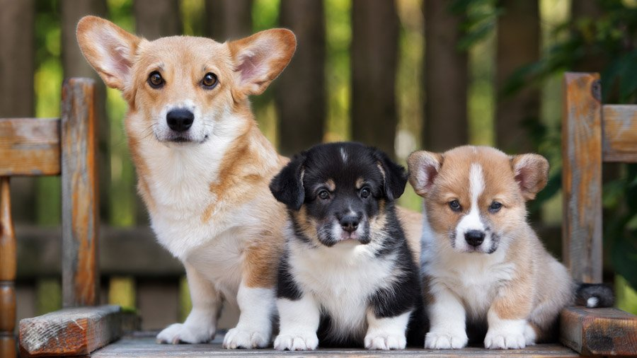 Самые умные породы собак 1480769027_welsh-corgi-dog