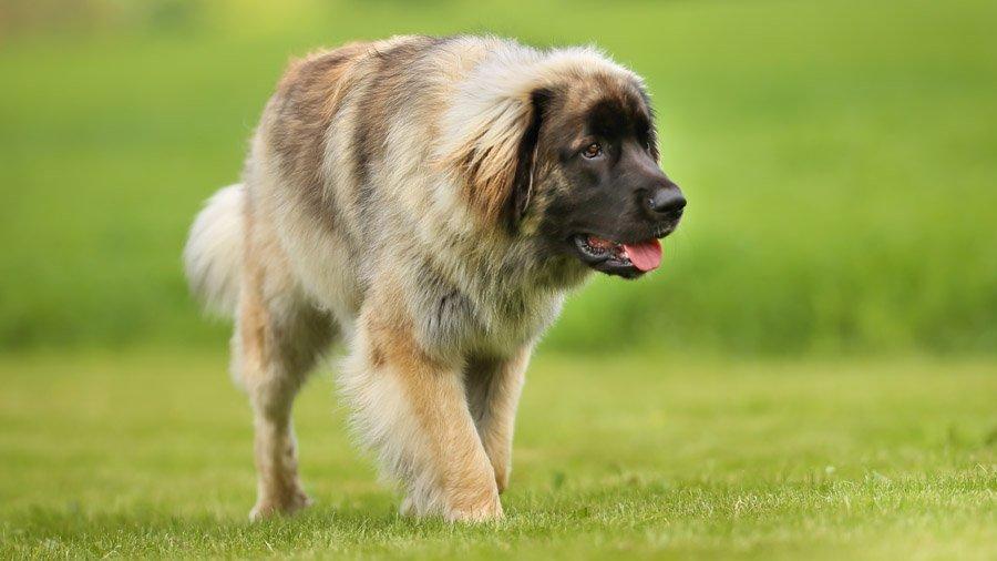 Породы собак с описанием и фото. - Страница 2 1480925948_leonberger-dog
