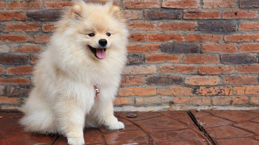 Породы собак с описанием и фото. - Страница 2 1480941118_pomeranian-dog