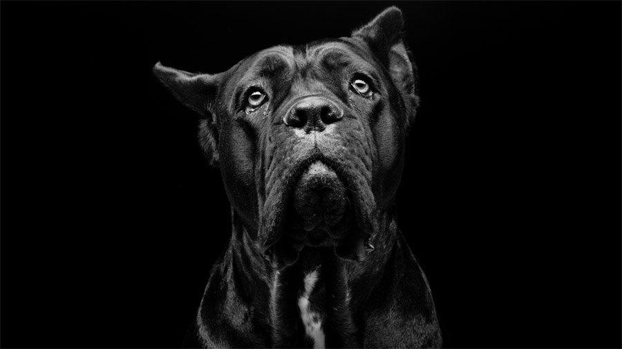 Бойцовские породы собак 1480964348_cane-corso-dog