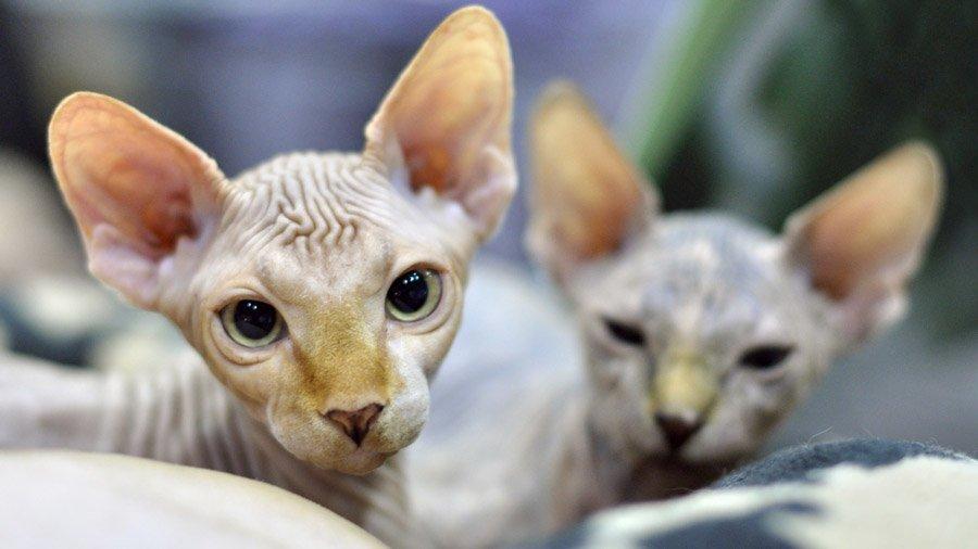 Отзывы котов сфинксов