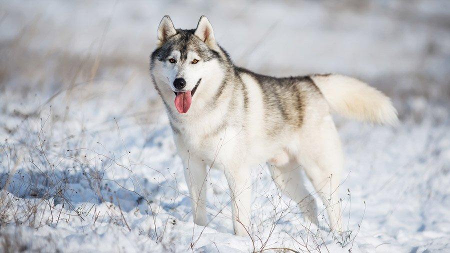 Породы собак для детей и семьи 1481207236_siberian-husky-dog