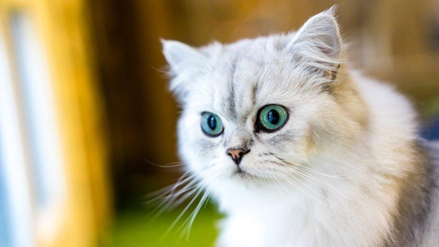 Кот перс в картинках