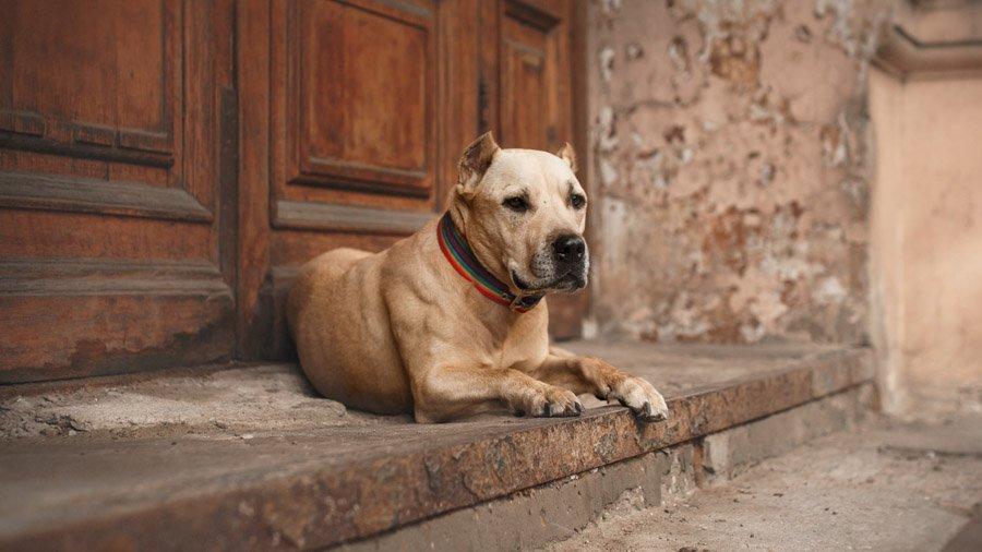 Бойцовские породы собак 1481388787_american-staffordshire-terrier-dog