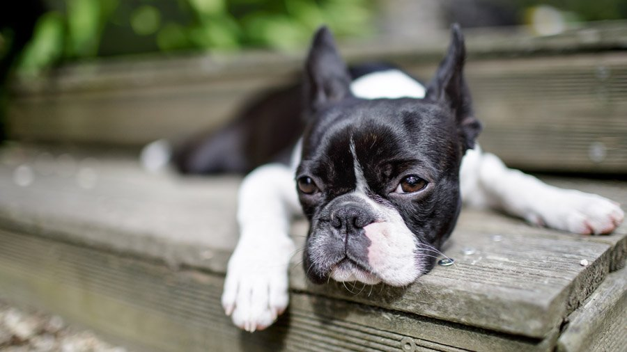 Породы собак для детей и семьи 1481395289_boston-terrier-dog