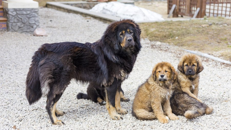 Породы собак с описанием и фото. - Страница 2 1481466228_tibetan-mastiff-dog