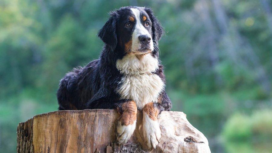 Породы собак для охраны 1481706655_bernese-mountain-dog