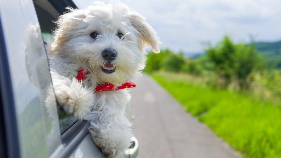 Породы собак для квартиры 1481735145_bichon-frise-dog