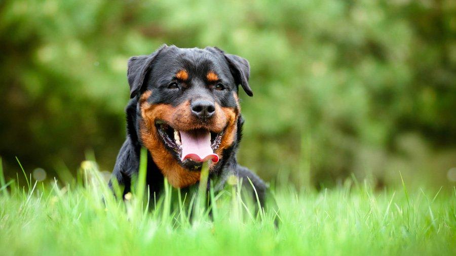 Породы собак с описанием и фото. - Страница 2 1481739294_rottweiler-dog