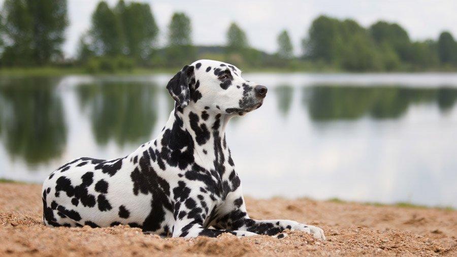 Породы собак для детей и семьи 1481744039_dalmatian-dog