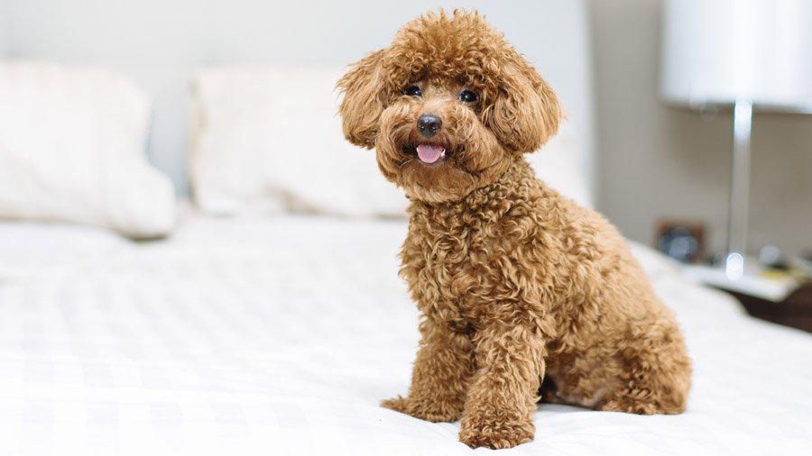 Породы собак для детей и семьи 1481747430_poodle-dog
