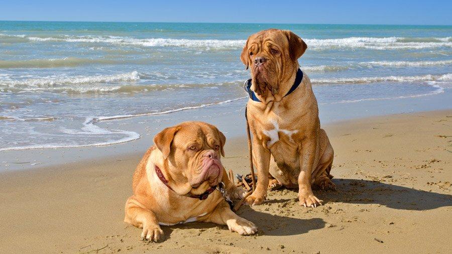 Бойцовские породы собак 1481827820_dogue-de-bordeaux-dog
