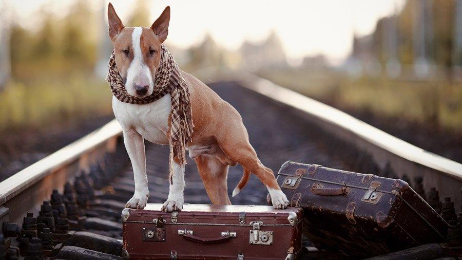 Бойцовские породы собак 1482321201_bull-terrier-dog