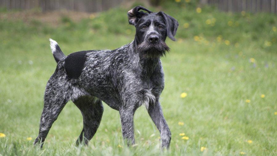 Самые умные породы собак 1482514136_drathaar-dog