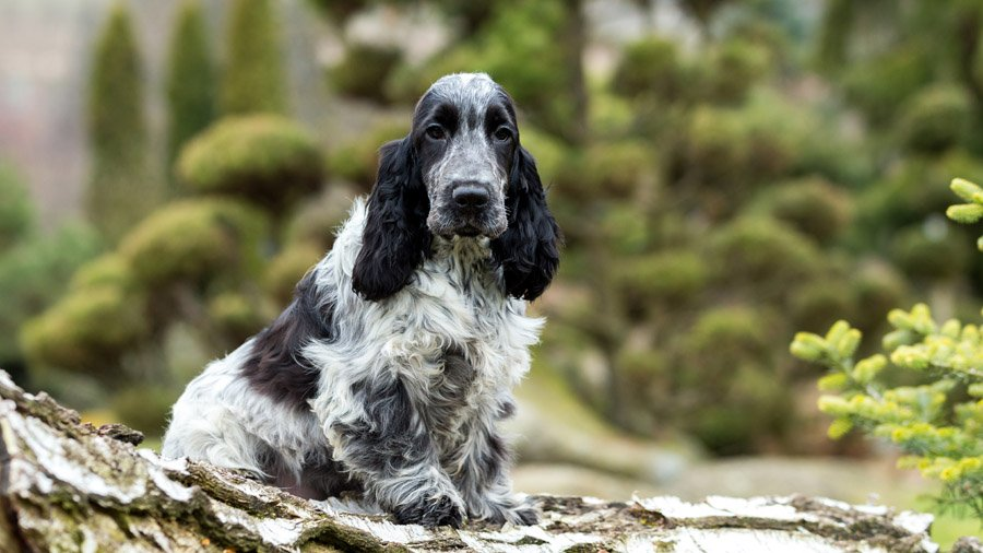 Самые умные породы собак 1482518382_cocker-spaniel-dog