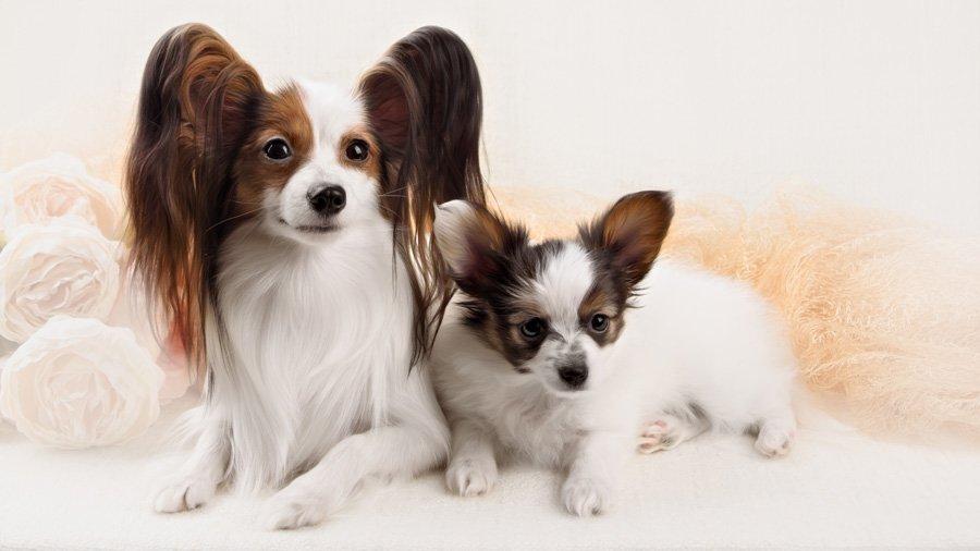 Породы собак с описанием и фото. - Страница 2 1482867522_papillon-dog
