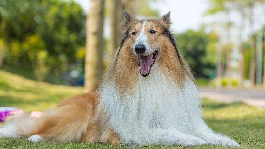 Породы собак для детей и семьи 1482926860_collie-dog