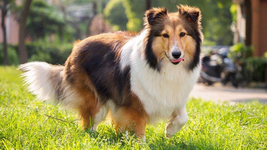 Породы собак с описанием и фото. - Страница 2 1482932641_shetland-sheepdog-dog